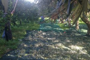 Raccolta delle olive- Agriturismo Le Zagare di Vendicari Noto