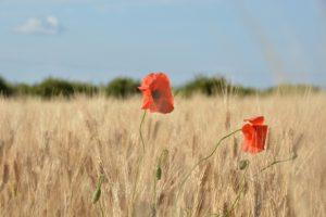 Produzione di grano biologico - Agriturismo Le Zagare di Vendicari Noto